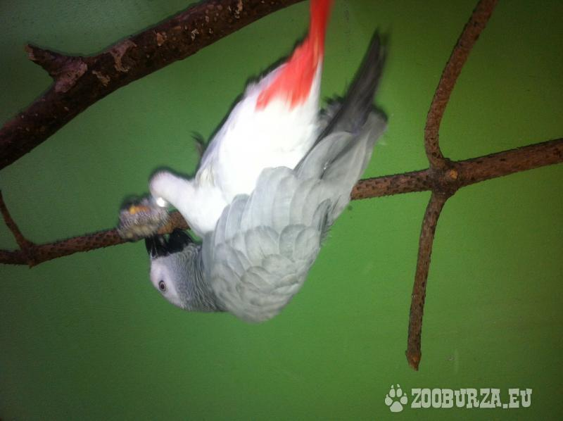 Uletel nám papagáj Žako, prosím pomoc