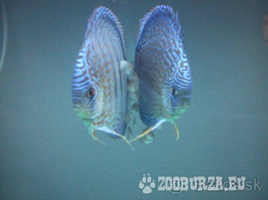 Discus-Red Tyrkys-Red melon