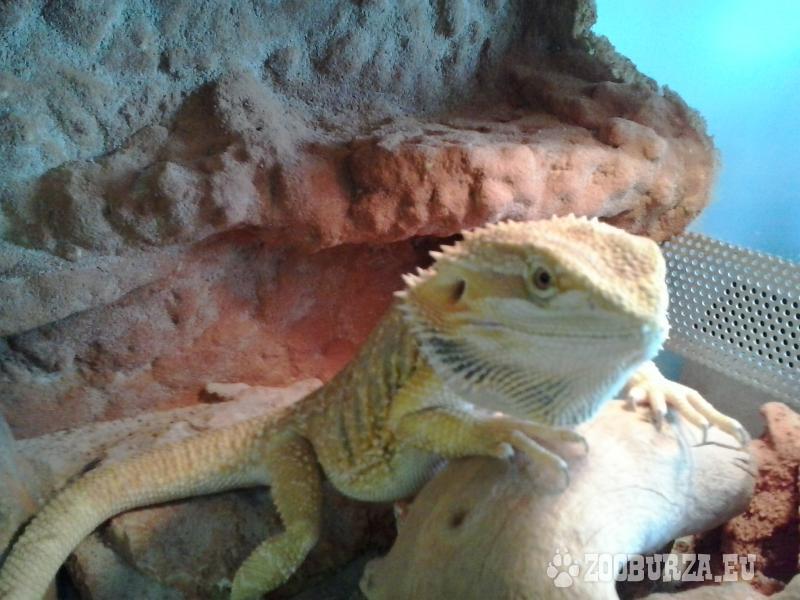 1,5 ročná Agama bradatá