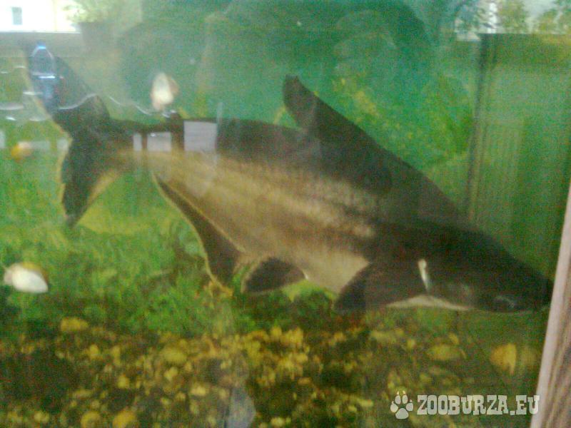 Sumček žraločí