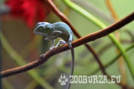 chameleon jemenský (chameleo calyptratus)