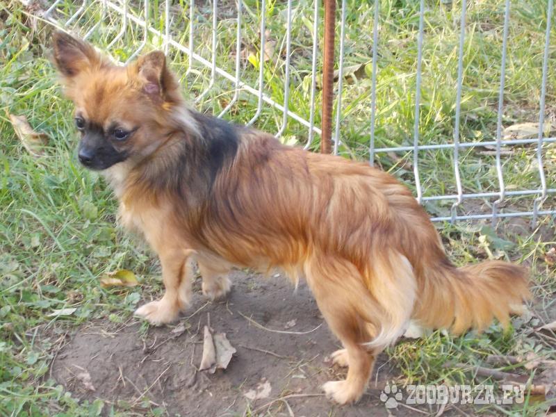 Chihuahua długowłose rodowodowe FCI