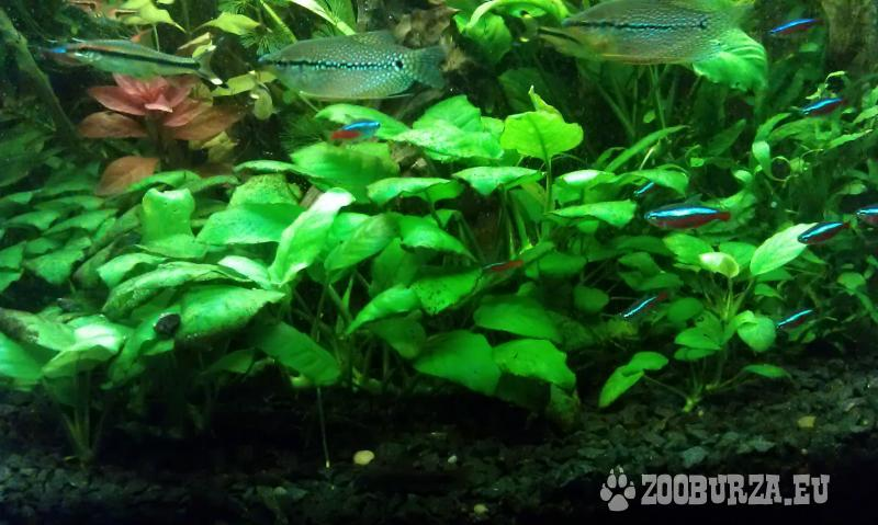 Predam akvariovu rastlinu Anubias barteri
