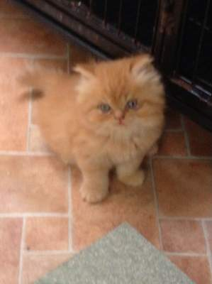 Persian Cats For Sale In Northern Ireland