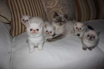 Pedigree Cats For Sale Ireland