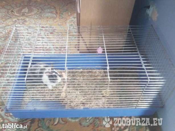 oddam królika wraz z dużą klatką