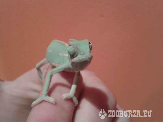 cbameleon jemensky