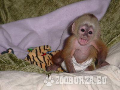 Kupim opičku