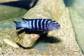 Rybičky - Cichlidy