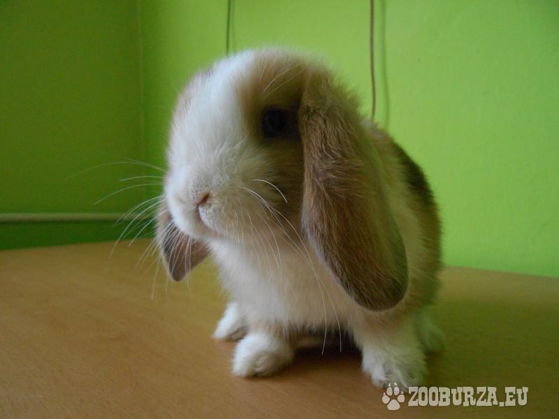 Krásny zakrslý králik s komplet výbavou - Predaj ffcd708edeb