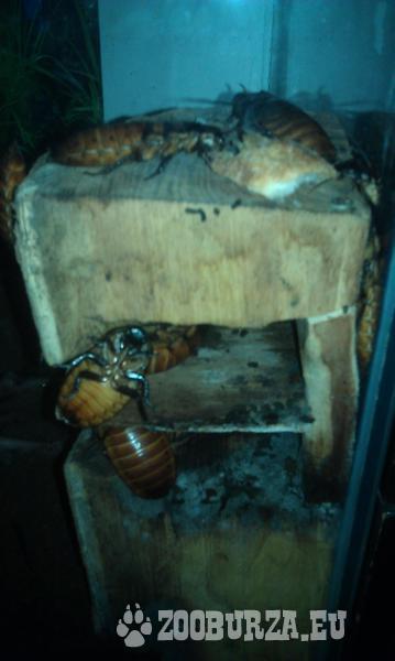 šváb magagaskarský (gromphadorhina portentosa)