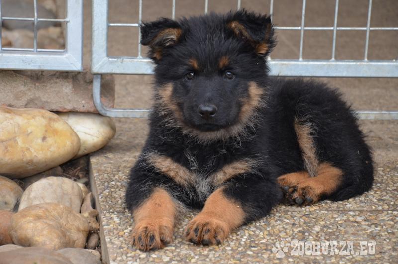 Chodský pes - Predaj 1e8a8492812