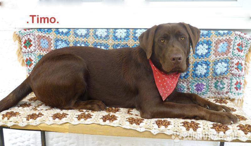 Labrador cokoladovy na krytie