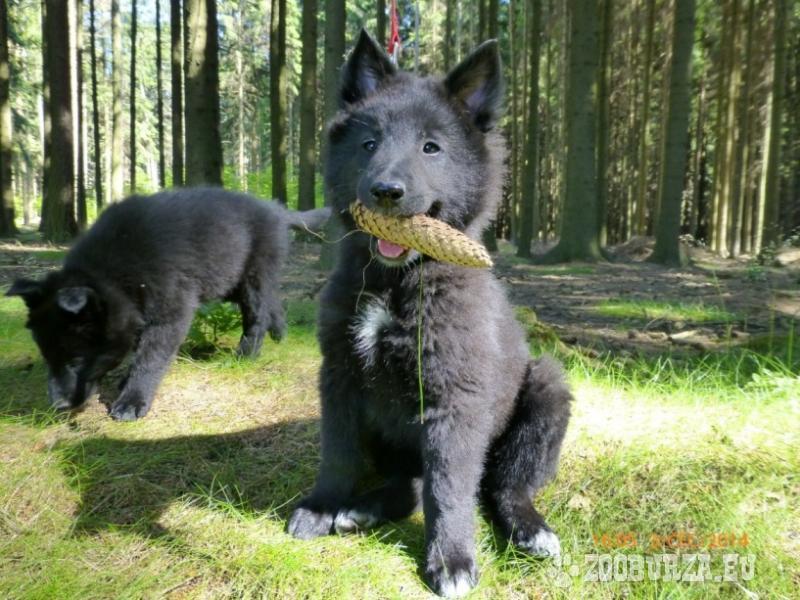 ZooBurza.eu » Psi » ŠtěňataInzerát číslo  18255 ab34ecc62d