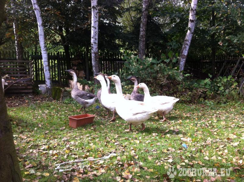 Živé husi z domácej farmy