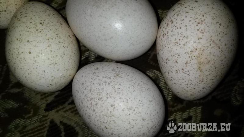 Nasadove vajcia morkiek