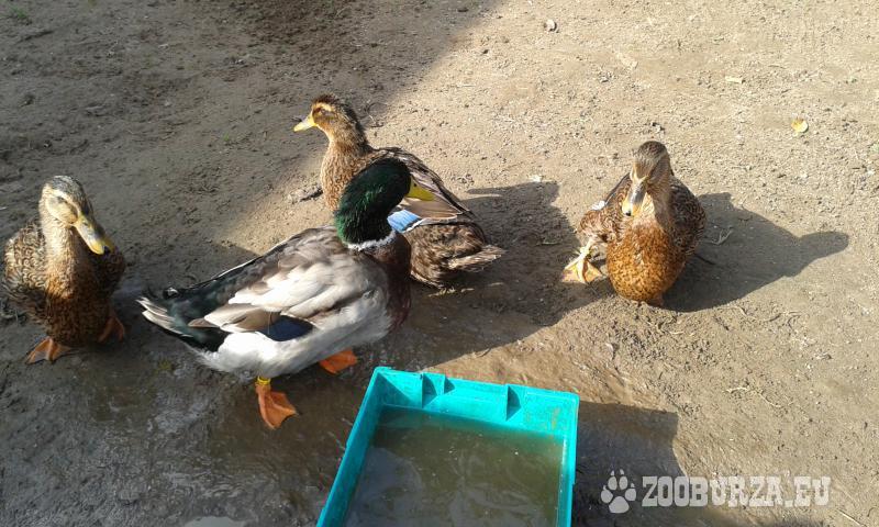 Predám násadové vajcia - Ruánska kačica