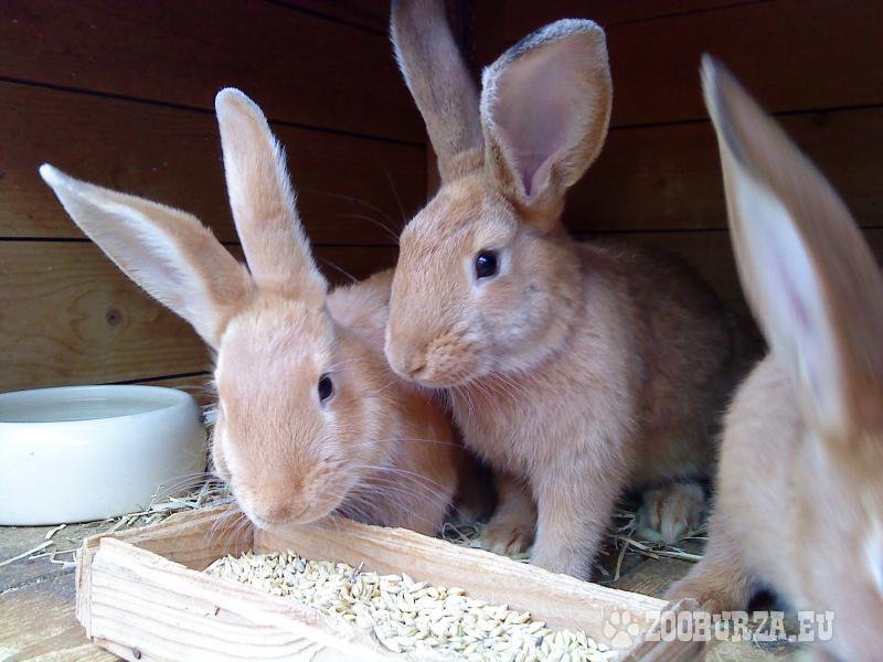 Predám králikov - Predaj 55a7605af11