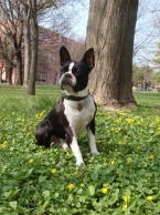 Krytie - Bostonský teriér