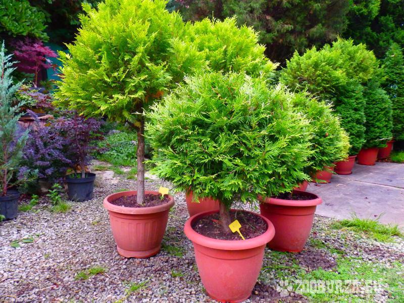 Stálozené vzrastlé rastliny na terasu či na výsadb