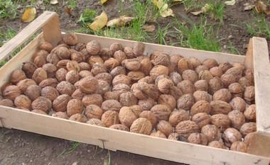 Vyběrové vlašské ořechy
