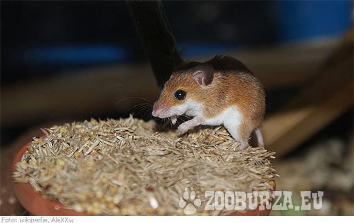 Kúpim 2 myši domáce