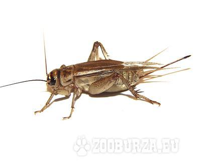 Krmny hmyz - www.insectfarm.sk