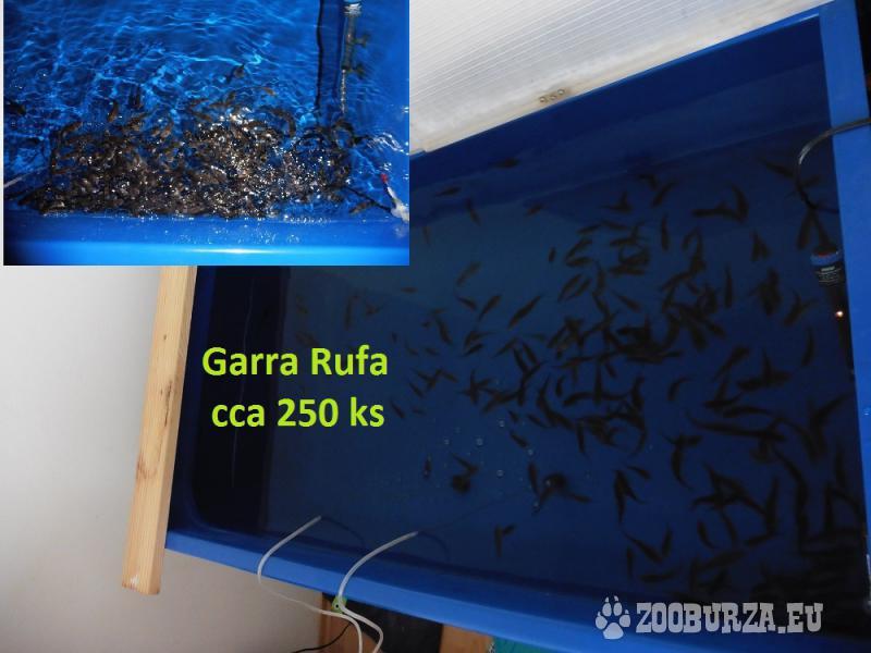 Garra Rufa rybky