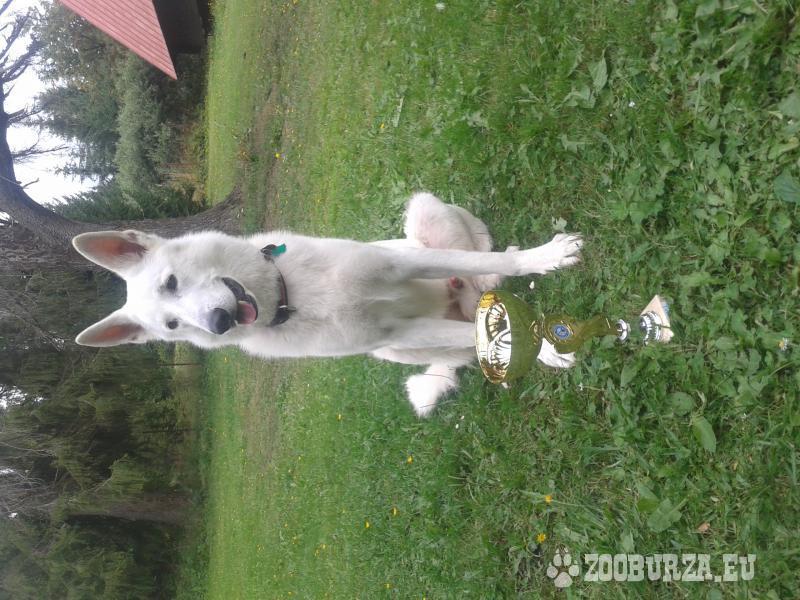 Ponuka psa na krytie - biely švajčiarsky ovčiak