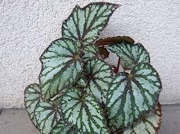 Begonia kralovska