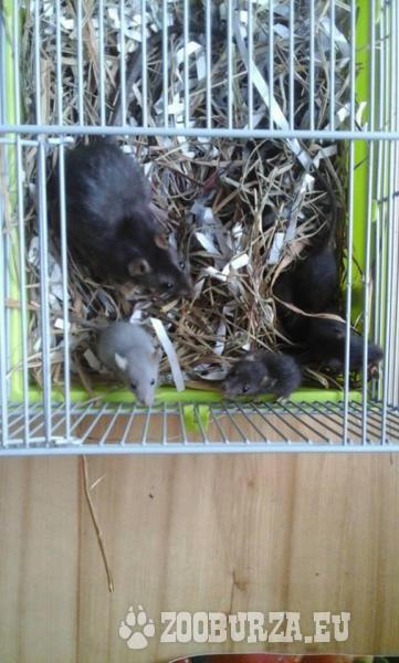 Laboratórne potkany