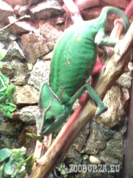 Predám samicu chameleona jemenskeho