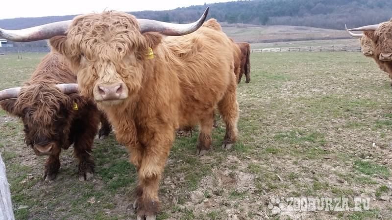 Plemenný býci - Highland Cattle