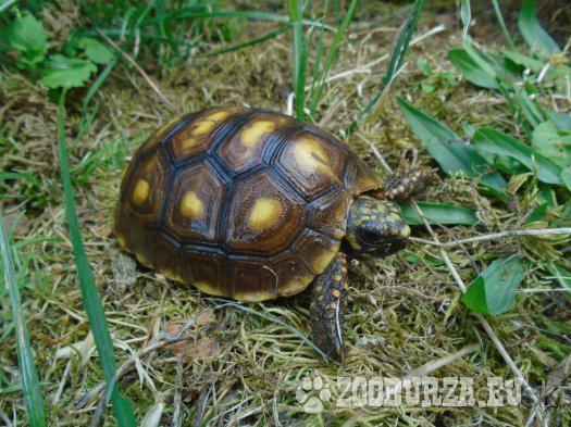 Suchozemská korytnačka uhoľná