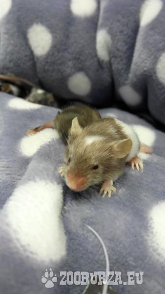 Myšky domáce - hrave mláďatká