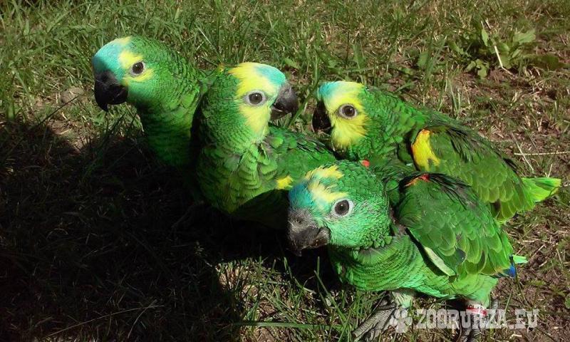 Recznie Karmione Amazonki Niebieskoczelne