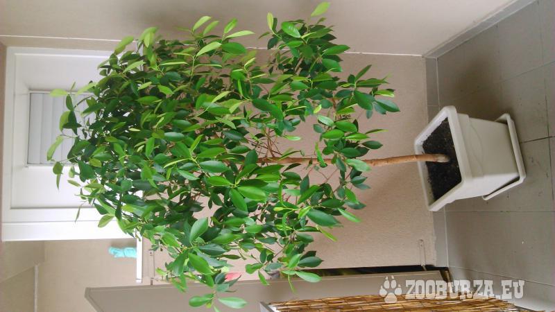 citrusovník 180cm