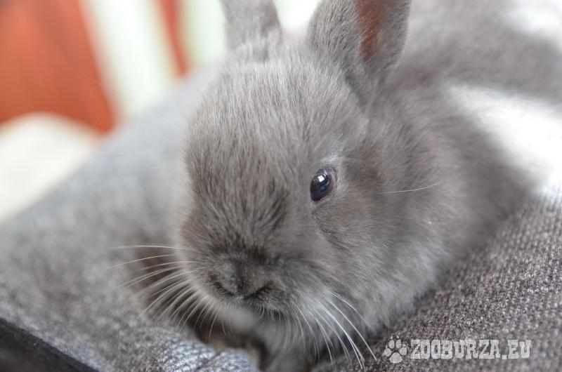 Bytové králiky na predaj - Zakrslý králik - Predaj 7d303cd39d1