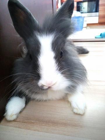 1 ročný Teddy králik