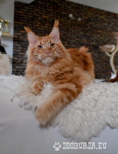 mainska mývalia mačka