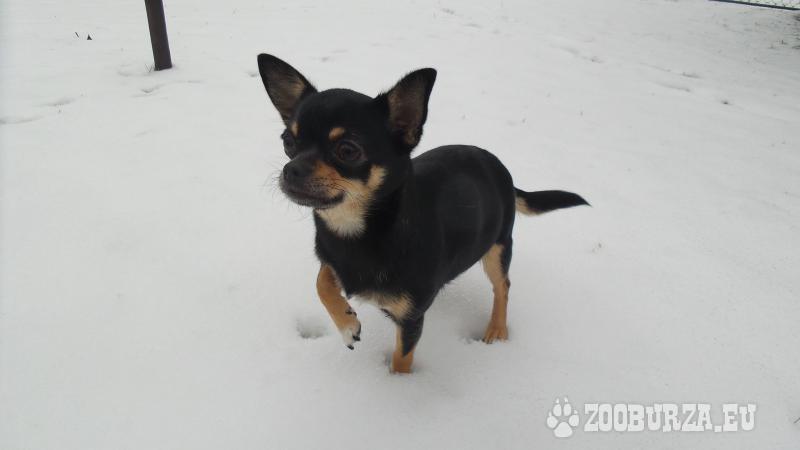 e6bbf68d52b Čivava krátkosrstá-štěně - Prodej. ZooBurza.eu » Psi » ŠtěňataInzerát  číslo  39433