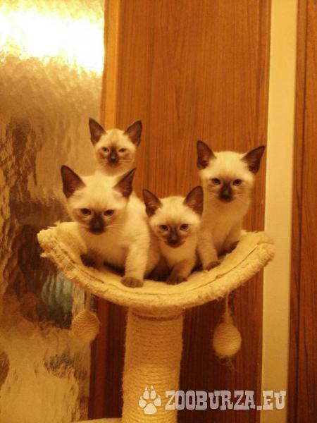 Siam Kitten zu verkaufen