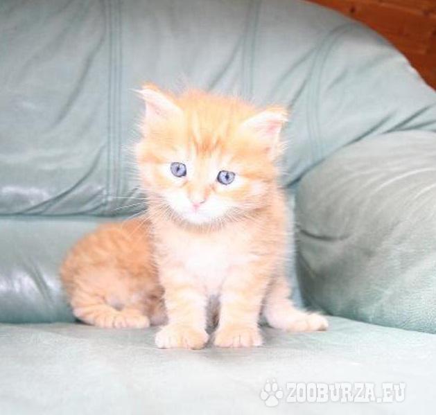 Wunderschöne kleine Main-Coon-Kitten