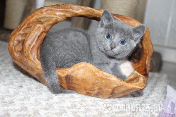 Bildhübsche reinrassige Russisch Blau Kätzchen!