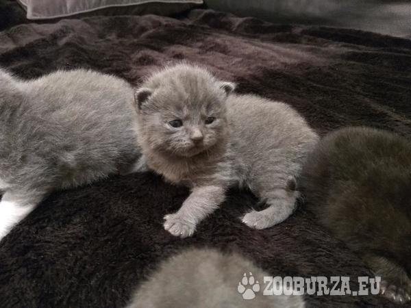 BKH Kitten, reinrassig Britisch Kurzhaar