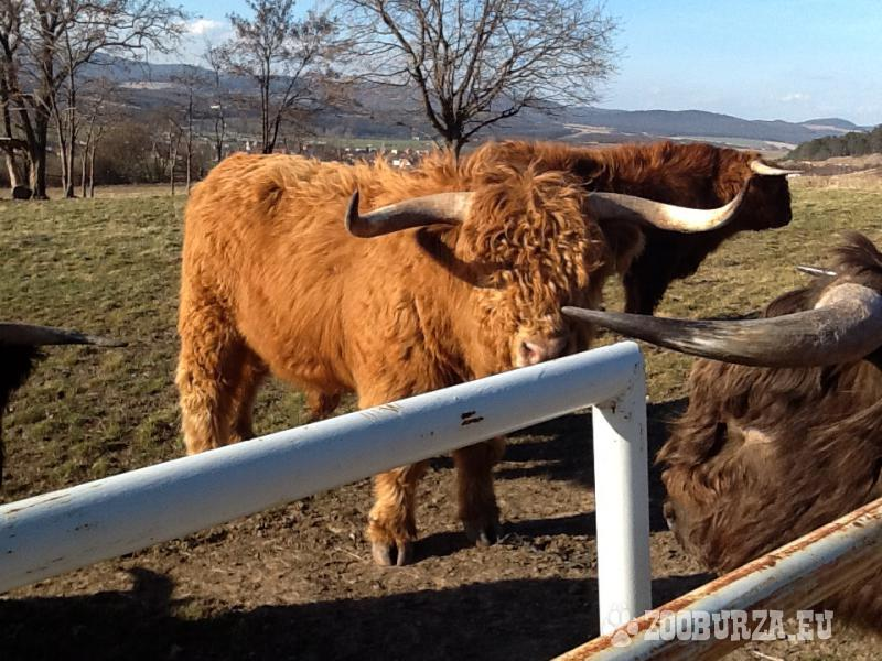 Plemenný býk Highland Cattle