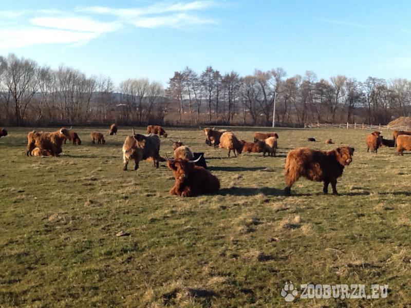 Jalovice Highland Cattle