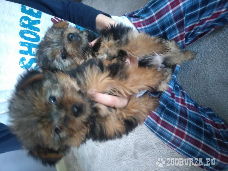 Female Yorkshire terrier puppies