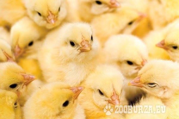 Brojlerové kurčatá - rozvoz zadarmo