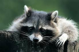 mýval / raccoon / medvedík čistotný
